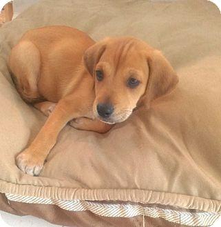 Labrador Retriever Mix Puppy for adoption in Hainesville, Illinois - Eddie