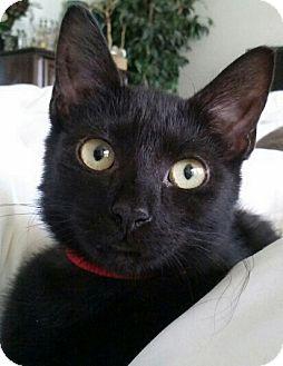 Domestic Shorthair Kitten for adoption in Seminole, Florida - Ruby