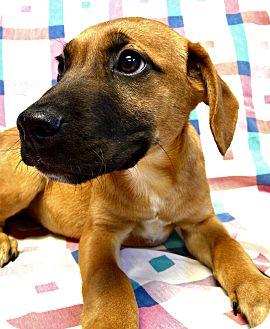 Boxer/Hound (Unknown Type) Mix Puppy for adoption in Staunton, Virginia - Rudy