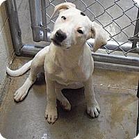 Adopt A Pet :: Pandora - Wickenburg, AZ