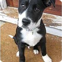 Adopt A Pet :: Abe - Seattle, WA