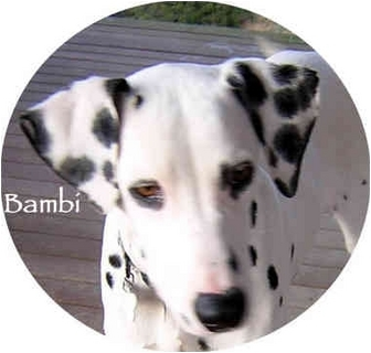 Dalmatian Puppy for adoption in Mandeville Canyon, California - Bambi