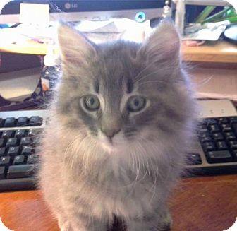 Domestic Mediumhair Kitten for adoption in Middletown, Rhode Island - Asher