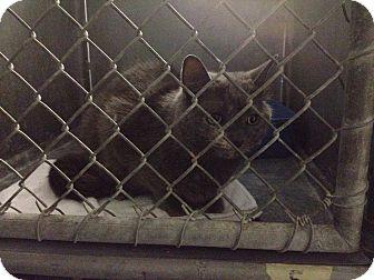 Domestic Mediumhair Cat for adoption in Flat Rock, Michigan - Megan