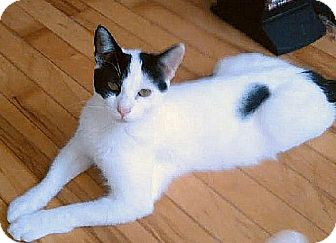Domestic Shorthair Cat for adoption in Hudson, New York - Domino (Bev's Foster)