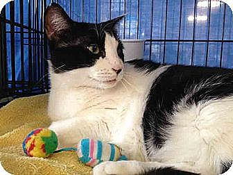 Domestic Shorthair Cat for adoption in Gaithersburg, Maryland - Penny