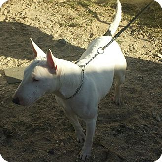 Bull Terrier Dog for adoption in Los Angeles, California - Kelly Belly