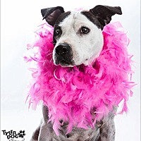 American Pit Bull Terrier Mix Dog for adoption in Okmulgee, Oklahoma - Cookie
