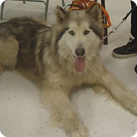 Adopt A Pet :: Shane - Ashland, OR