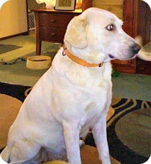 Labrador Retriever Mix Dog for adoption in ST LOUIS, Missouri - Diana