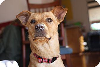 Corgi/Dachshund Mix Dog for adoption in Olympia, Washington - Kane