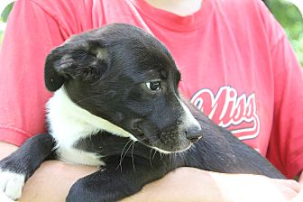 Golden Retriever/Border Collie Mix Puppy for adoption in Pewaukee, Wisconsin - LILY