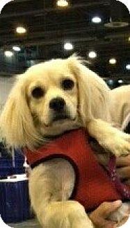 Cocker Spaniel/Cocker Spaniel Mix Puppy for adoption in Sugarland, Texas - Augie