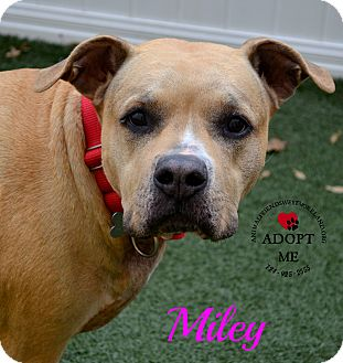 Pit Bull Terrier Mix Dog for adoption in Youngwood, Pennsylvania - Miley