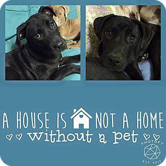 Labrador Retriever Mix Dog for adoption in Snyder, Texas - Weiland