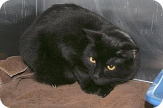 American Shorthair Cat for adoption in Englewood, Florida - Shadow