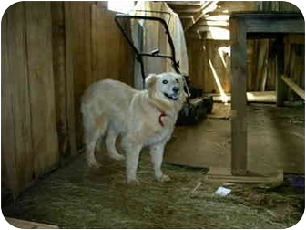 Golden Retriever/Border Collie Mix Dog for adoption in Lyman, South Carolina - Darby