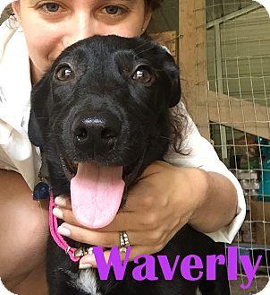 Labrador Retriever Mix Dog for adoption in Orangeburg, South Carolina - Waverly