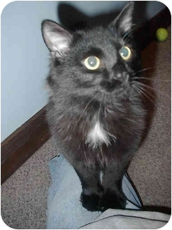 Domestic Longhair Cat for adoption in Jeffersonville, Indiana - Thomas