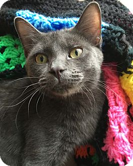 Russian Blue Kitten for adoption in Lombard, Illinois - Parker