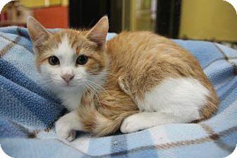 Domestic Shorthair Kitten for adoption in Benbrook, Texas - Brandon