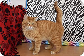 Domestic Shorthair Cat for adoption in North Judson, Indiana - George