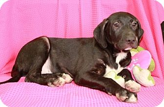 Labrador Retriever/Pit Bull Terrier Mix Puppy for adoption in Plainfield, Connecticut - Skipper
