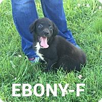 Labrador Retriever Mix Puppy for adoption in Burlington, Vermont - Ebony