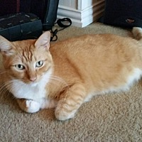 American Shorthair Cat for adoption in Flower Mound, Texas - Mr Darcy