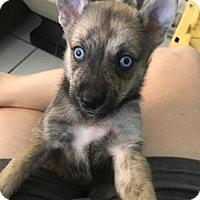 Siberian Husky/German Shepherd Dog Mix Puppy for adoption in Danbury, Connecticut - Akira