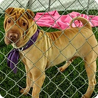 Adopt A Pet :: Geisha - Mira Loma, CA