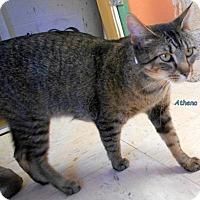 Adopt A Pet :: Athena - Oskaloosa, IA