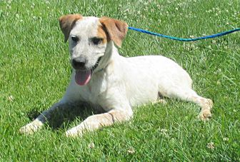 Blue Heeler/Terrier (Unknown Type, Medium) Mix Puppy for adoption in Reeds Spring, Missouri - Outlaw