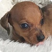 Adopt A Pet :: Amber Astros - Houston, TX
