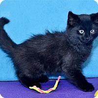 Adopt A Pet :: Black Bart - Lenexa, KS