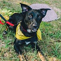 Adopt A Pet :: Pepper - Indian Trail, NC