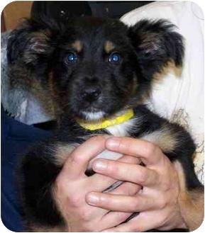 German Shepherd Dog/Retriever (Unknown Type) Mix Puppy for adoption in Portsmouth, Rhode Island - Huckleberry