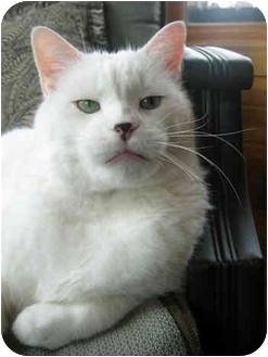 Domestic Shorthair Cat for adoption in Owatonna, Minnesota - Mr. Chen