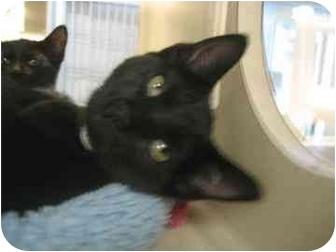 Domestic Shorthair Kitten for adoption in North Charleston, South Carolina - Wonka