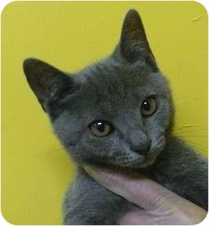 Domestic Shorthair Kitten for adoption in Eastpoint, Florida - Emerson