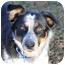 Photo 1 - Australian Cattle Dog/Australian Shepherd Mix Dog for adoption in Sacramento, California - Rockae!