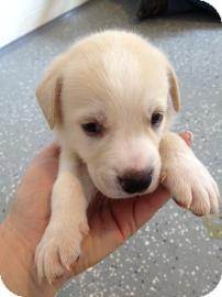 Labrador Retriever/Pit Bull Terrier Mix Dog for adoption in Gainesville, Florida - Cadbury