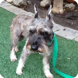 Schnauzer (Miniature) Dog for adoption in Redondo Beach, California - JoJo