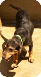 Beagle/Terrier (Unknown Type, Medium) Mix Dog for adoption in Oakland, Arkansas - Lane