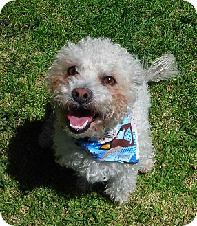 Poodle (Miniature) Mix Dog for adoption in El Cajon, California - Eric