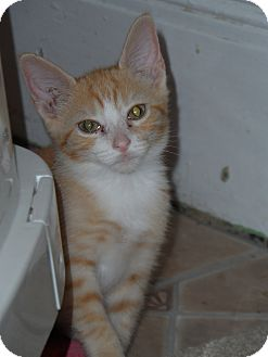 Domestic Shorthair Kitten for adoption in Tarboro, North Carolina - Niles