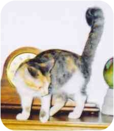 Domestic Shorthair Cat for adoption in Fayette, Missouri - Lotus