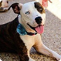 Adopt A Pet :: Star - justin, TX