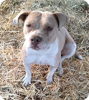 Pit Bull Terrier Dog for adoption in Ogden, Utah - Maizey