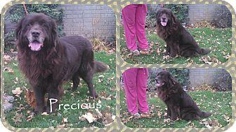 Newfoundland Dog for adoption in DOVER, Ohio - Precious
